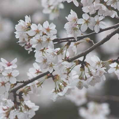 「しなやかに咲く桜」の写真素材