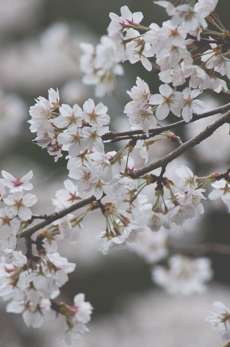 「しなやかに咲く桜」の写真