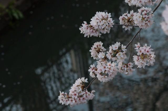 水路と桜の写真