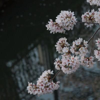 「水路と桜」の写真素材