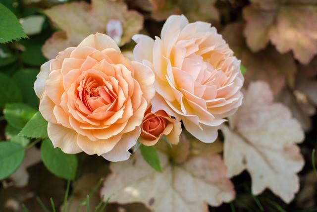 オレンジ色のバラとヒューケラの葉の写真