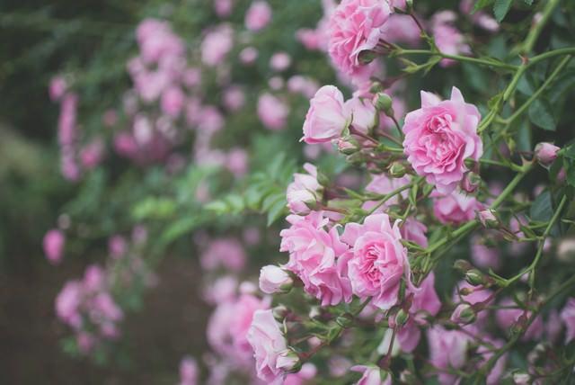 枝垂れて咲くバラの写真