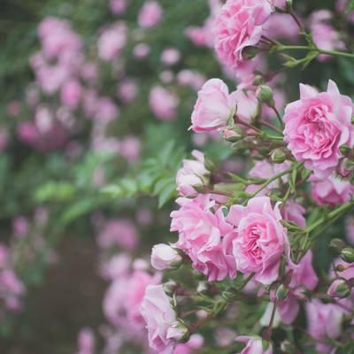 「枝垂れて咲くバラ」の写真素材