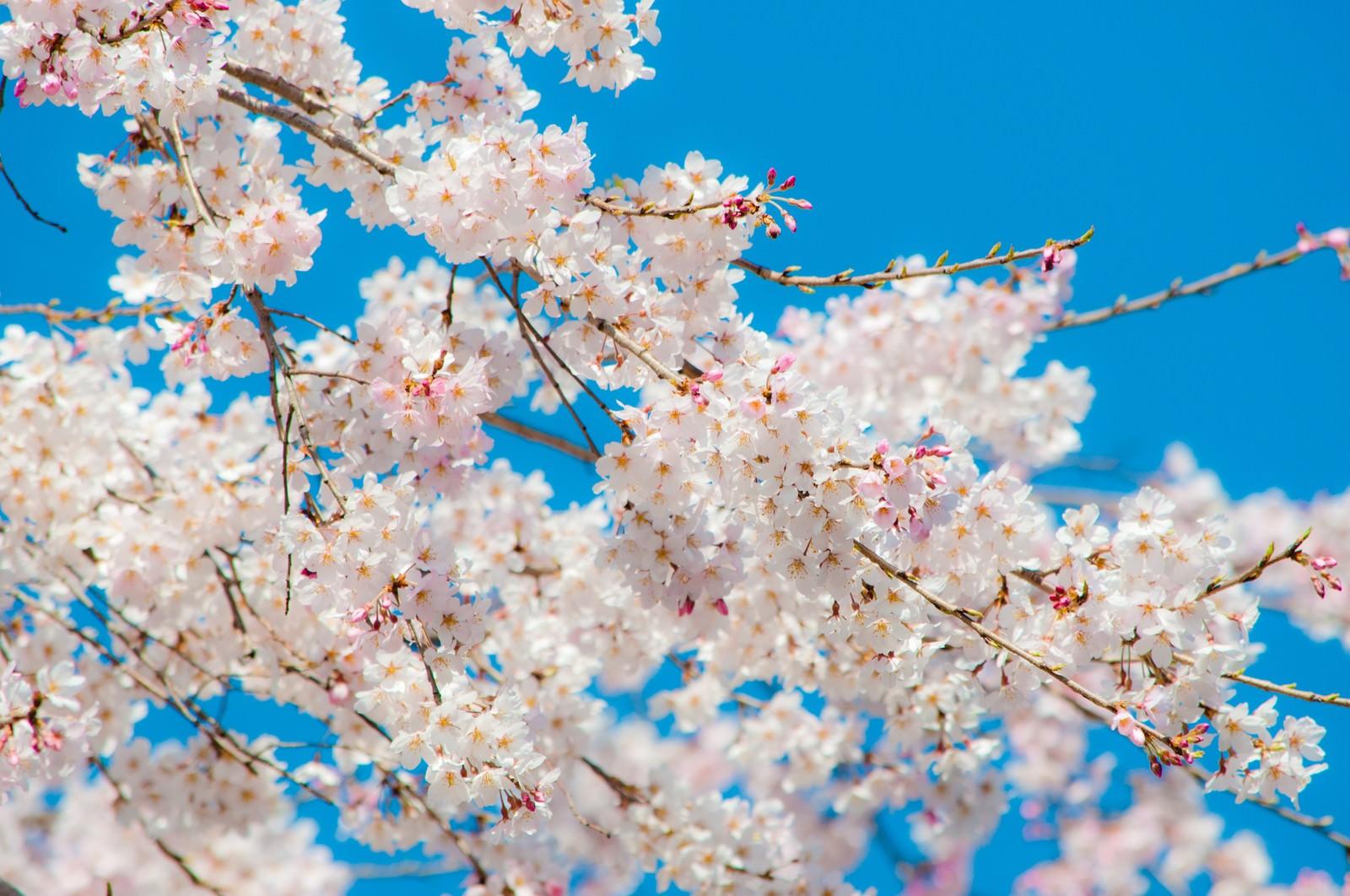 「青空と桜」の写真