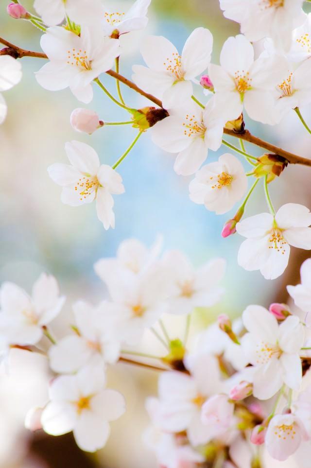 「春色(桜)」のフリー写真素材