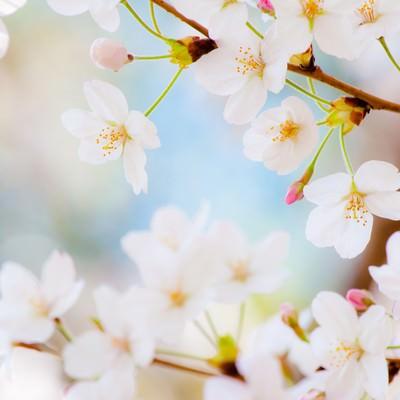 「春色(桜)」の写真素材