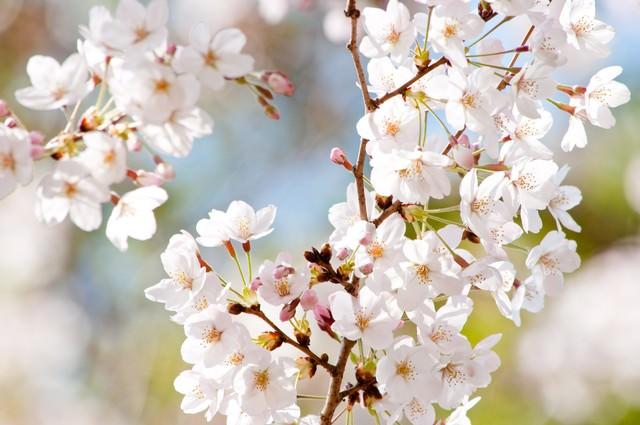 風光る(桜)の写真