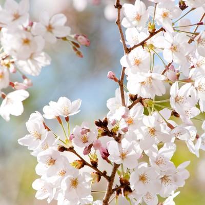 「風光る(桜)」の写真素材
