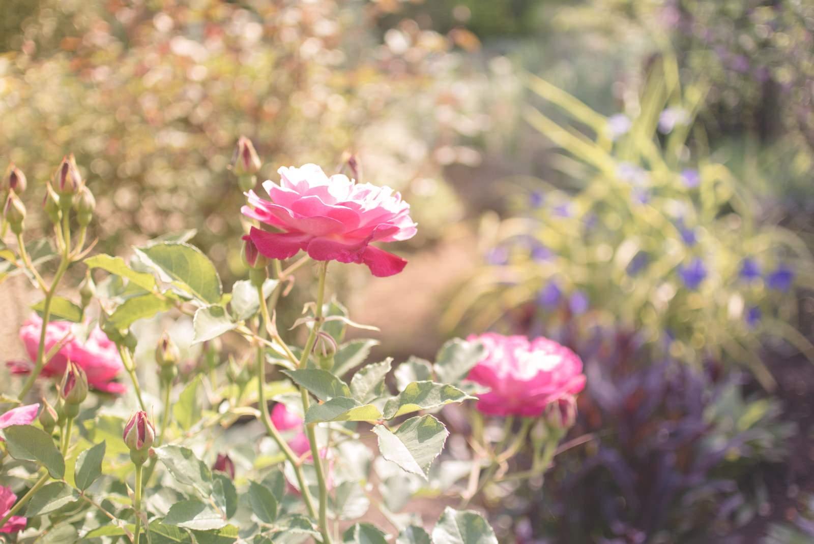 「やさしいひかり(バラ) | ぱくたそフリー素材」の写真