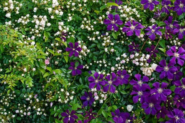バラと紫のクレマチスの写真