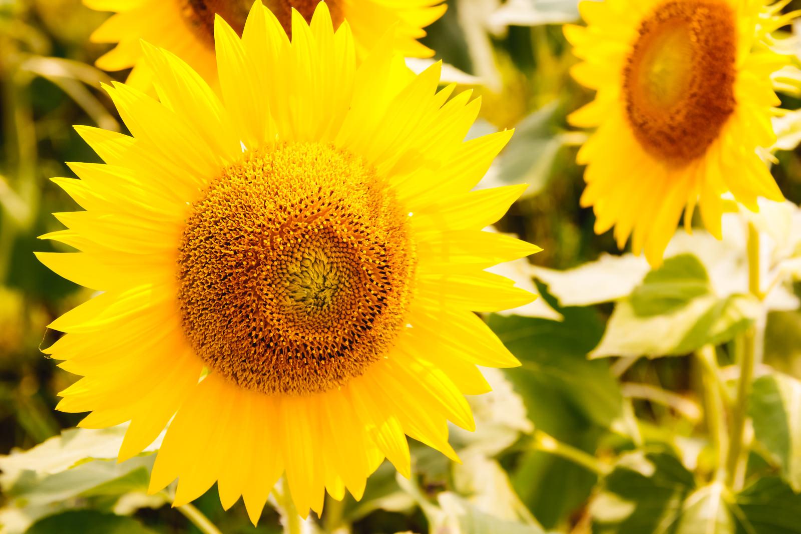 「SUNSUN向日葵」の写真