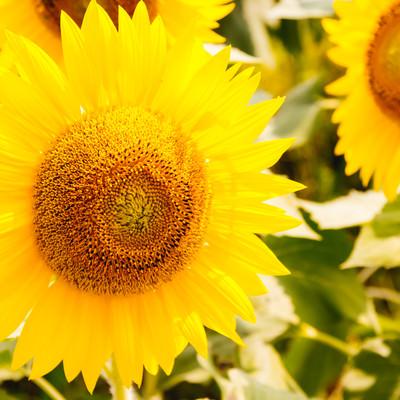 SUNSUN向日葵の写真