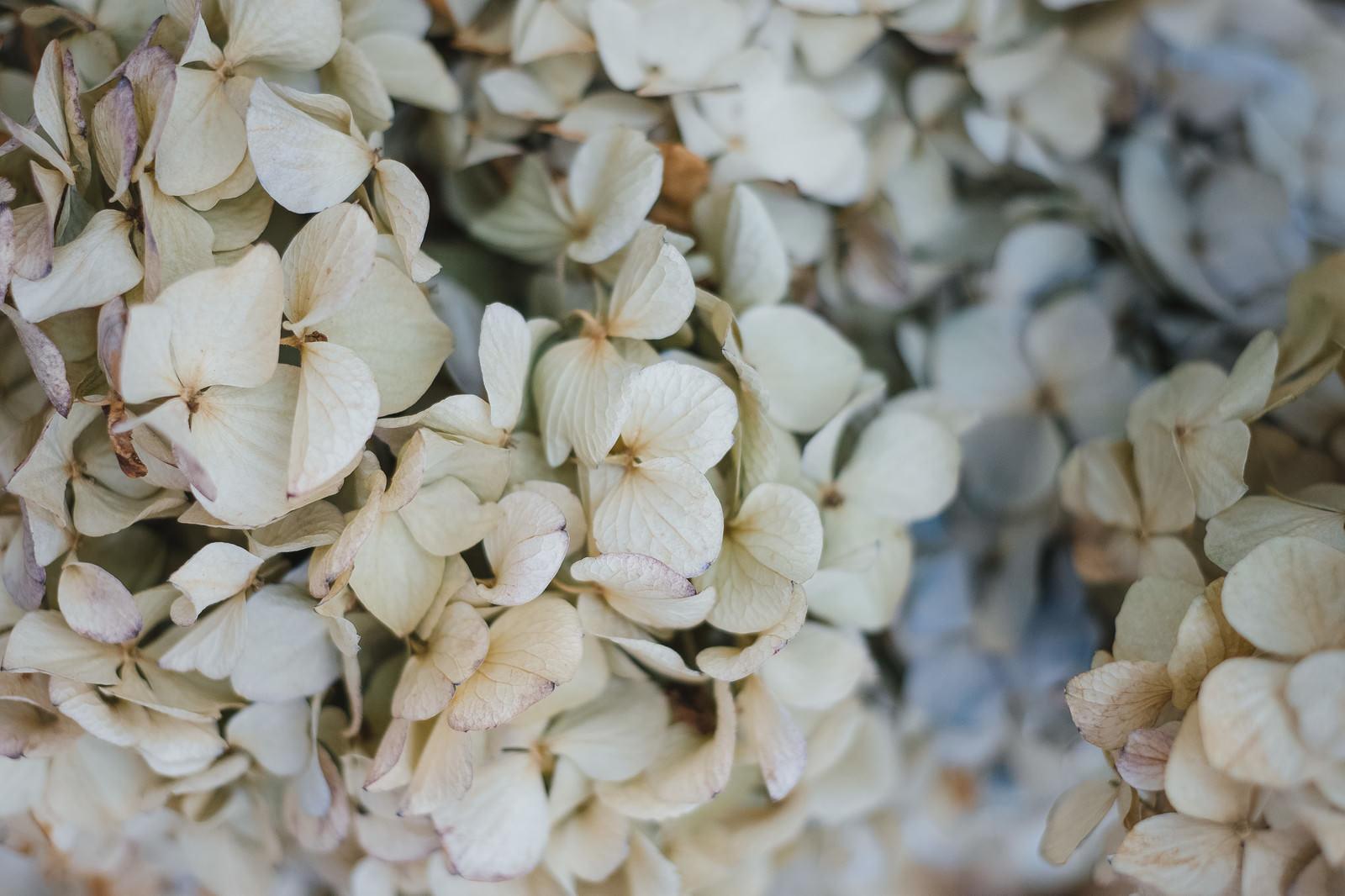 「色あせた紫陽花の花」の写真