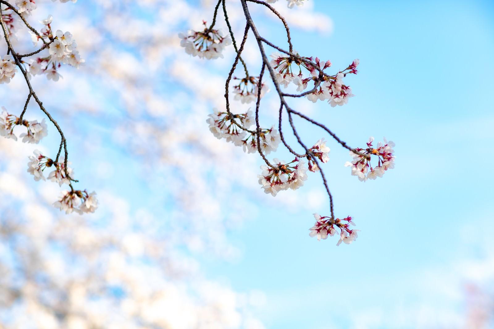 「サクラの春」の写真