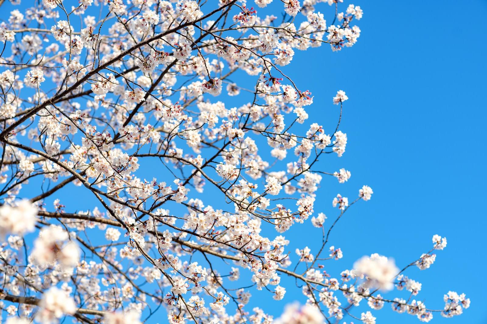 「青空と桜満開」の写真