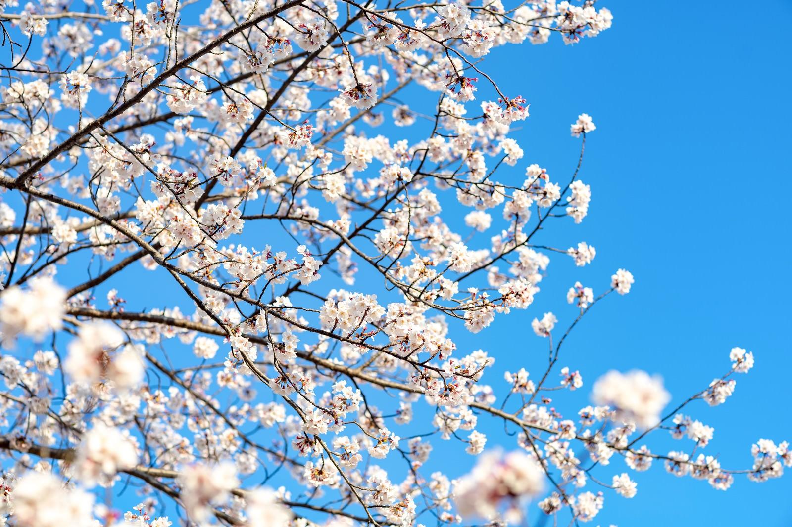 「青空と桜の様子」の写真