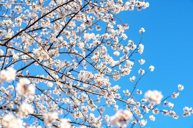青空と桜の様子の写真