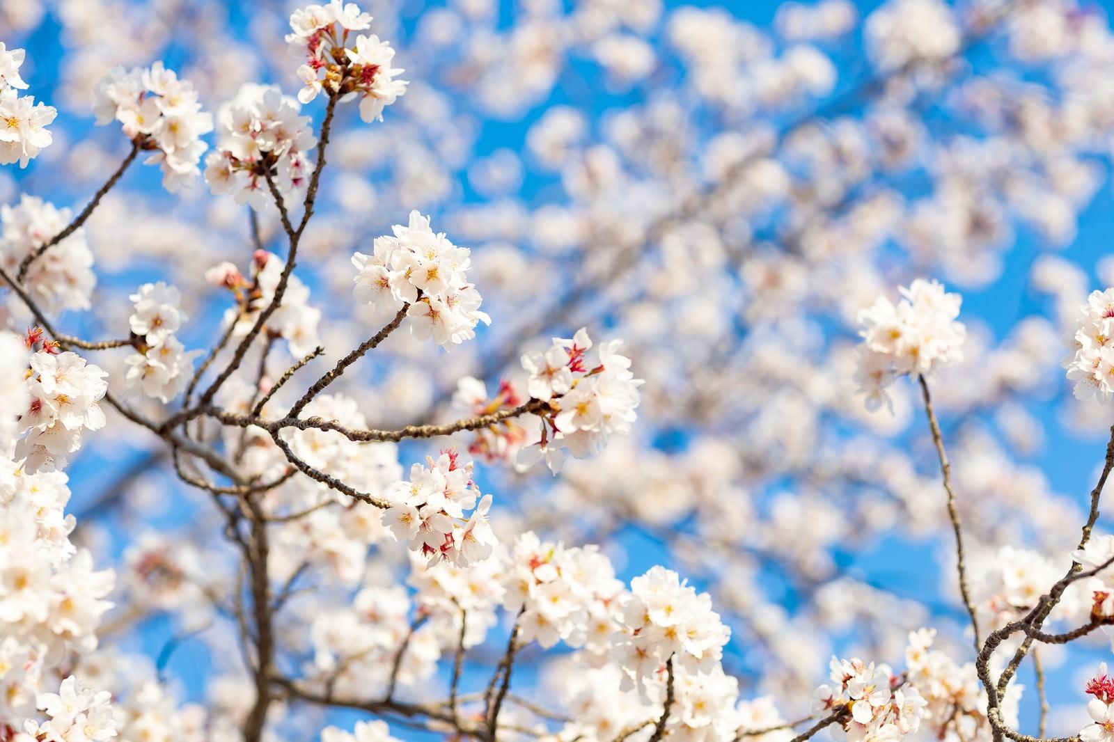 「桜が開花して春のはじまり」の写真