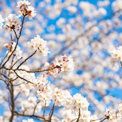 桜が開花して春のはじまりの写真