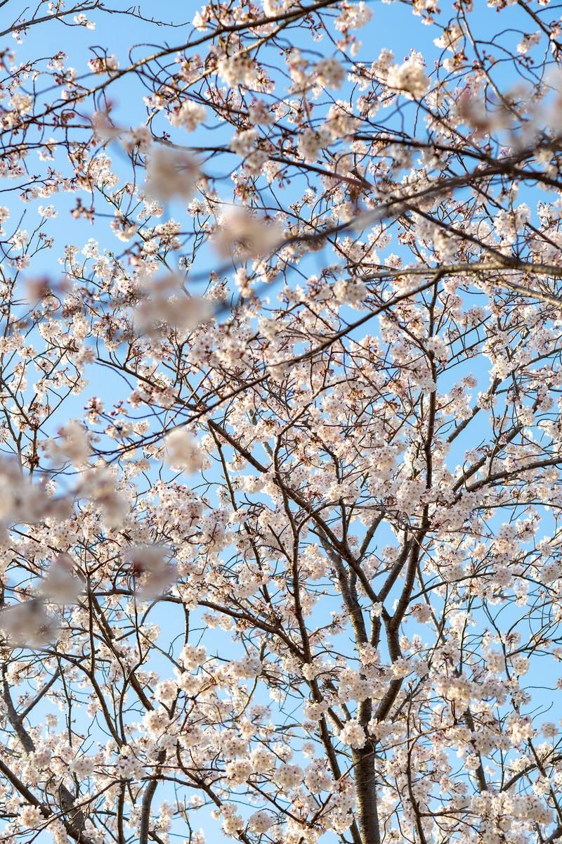 「開花した桜の木」の写真