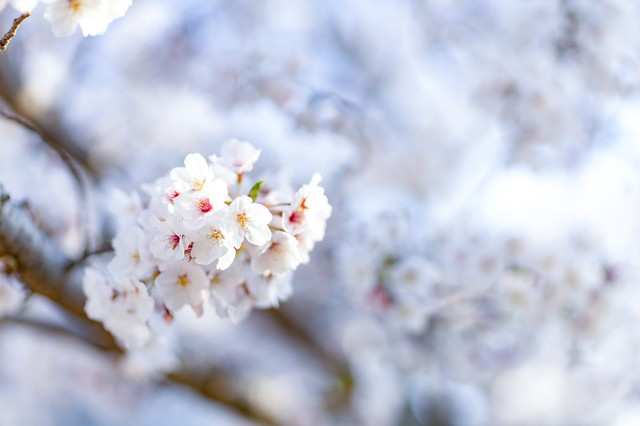 開花した桜の花の写真