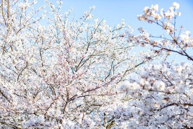 光を浴びる桜の写真