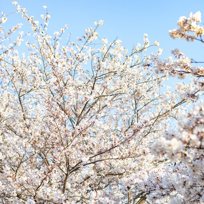 春の桜と青空の写真