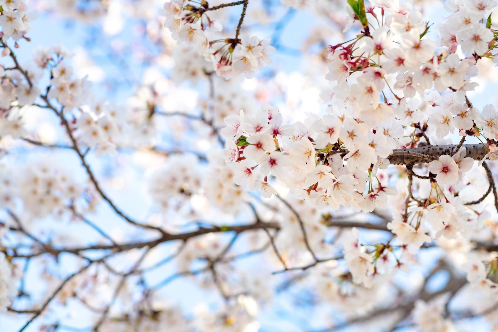 「花咲く桜」の写真