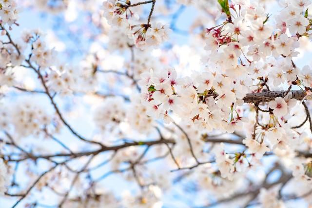花咲く桜の写真