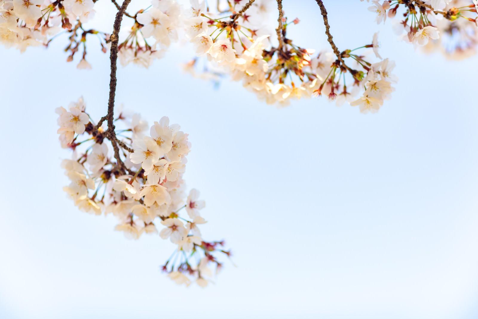 「霞む空と桜」の写真