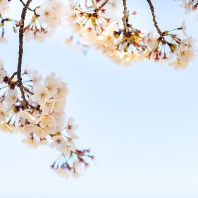 霞む空と桜の写真