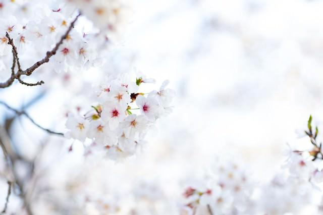 春の陽射しを浴びる桜の写真