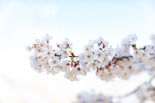 霞む空に訪れる満開の桜の写真