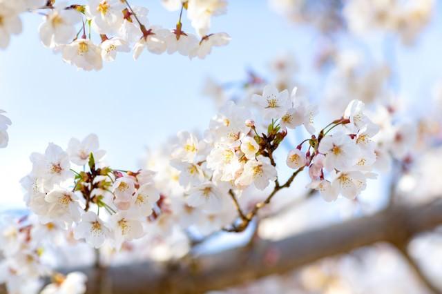 春の木漏れ日と桜の写真