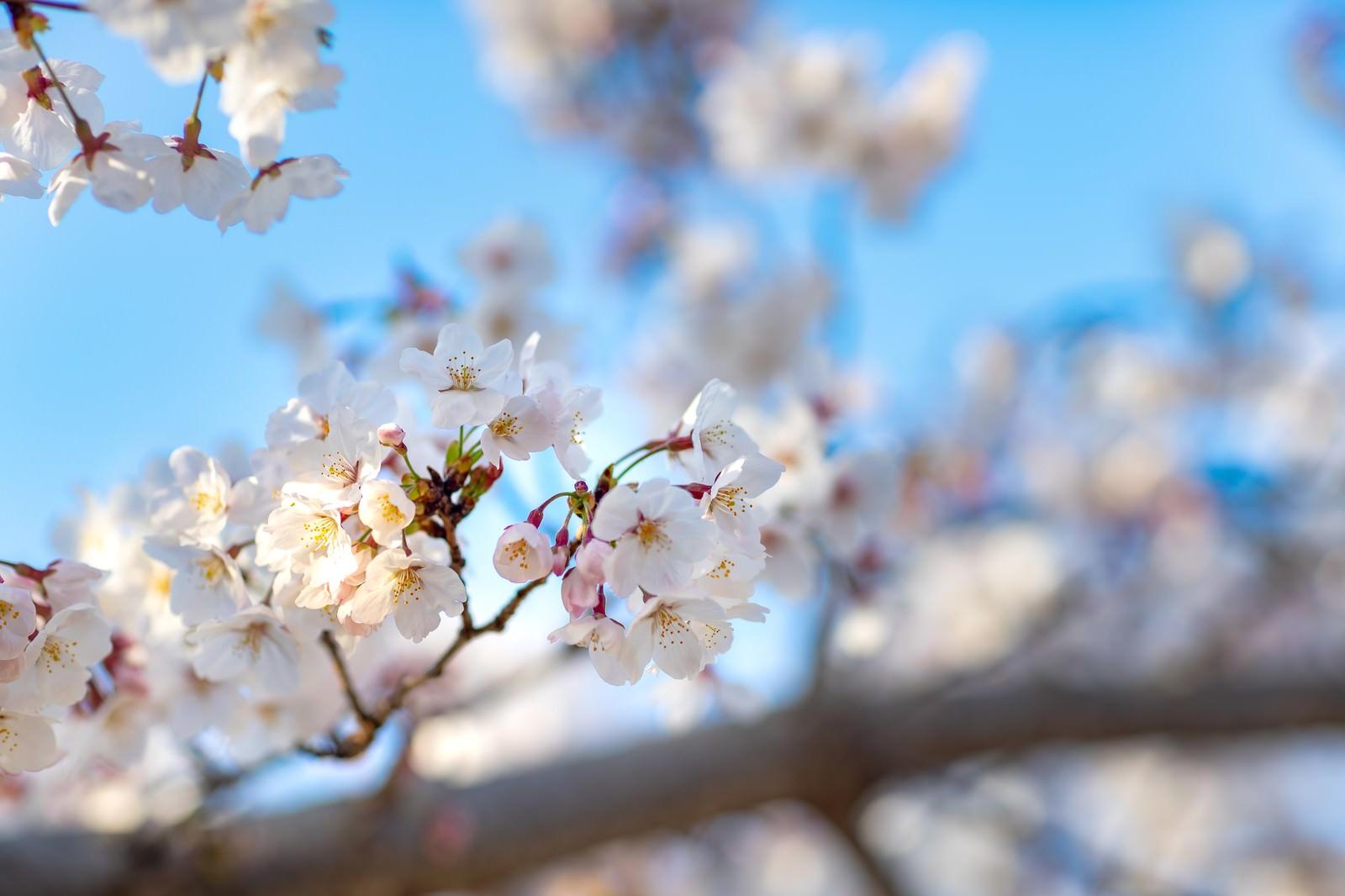 「陽気な桜の開花」の写真