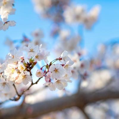陽気な桜の開花の写真