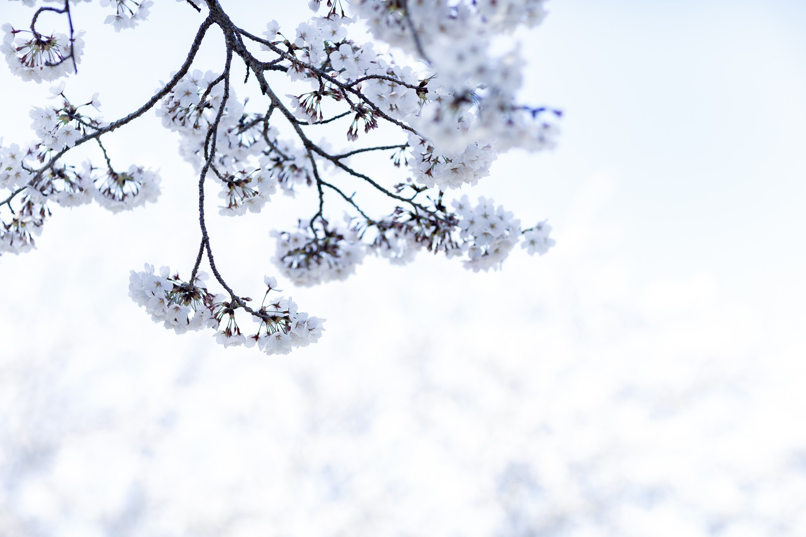 「春の日差しに包まれる桜」の写真