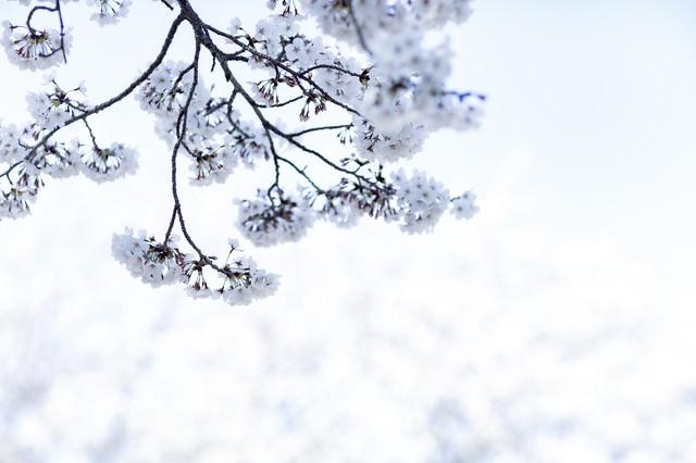 春の日差しに包まれる桜の写真