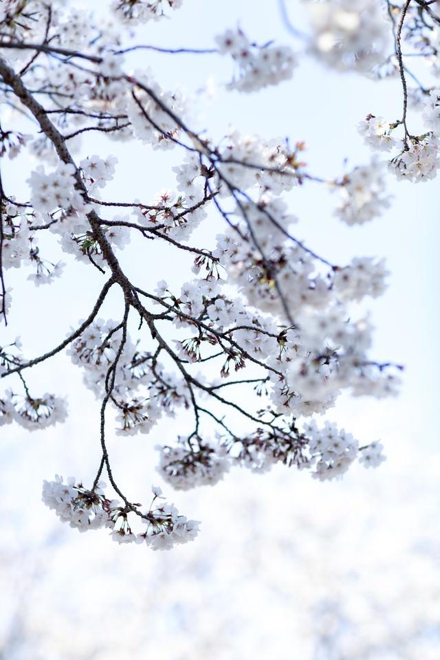 八分咲きの桜の写真
