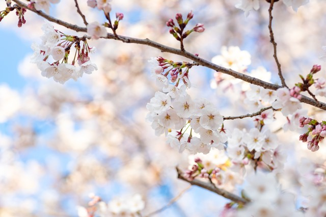 つぼみから次々と開花する桜の写真