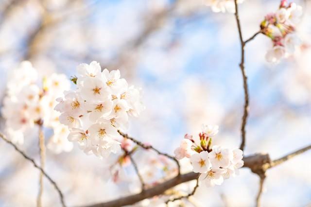 桜にそそぐ春の陽射しの写真