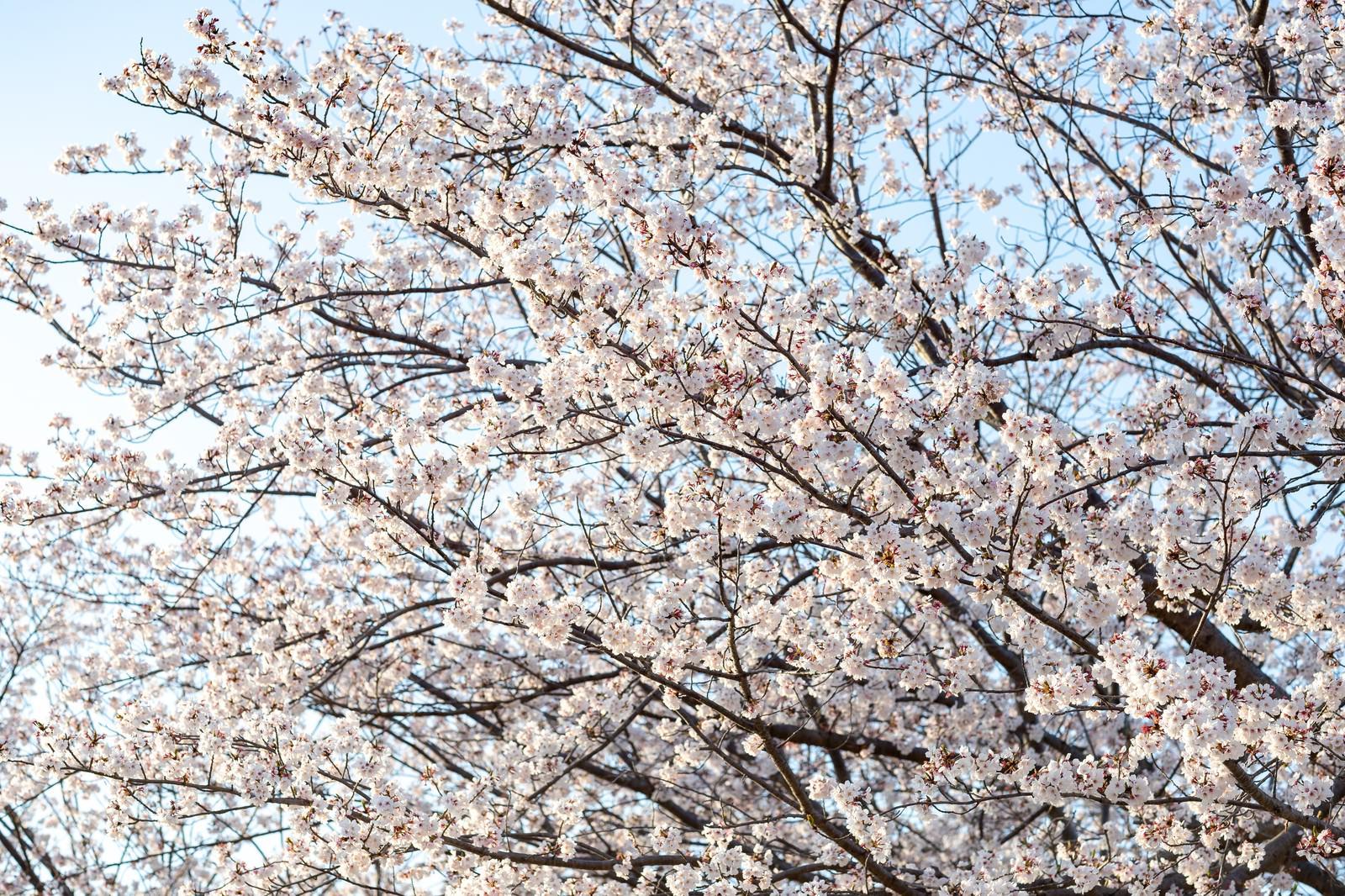 「霞み行く空と桜の木」の写真