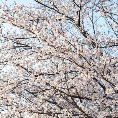 霞み行く空と桜の木の写真