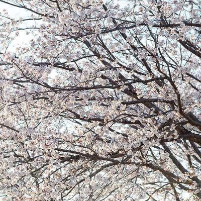 空に伸びる満開の桜の木の写真