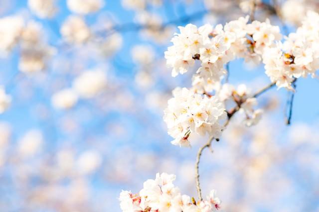 穏やかに降り注ぐ陽射しと満開の桜の写真