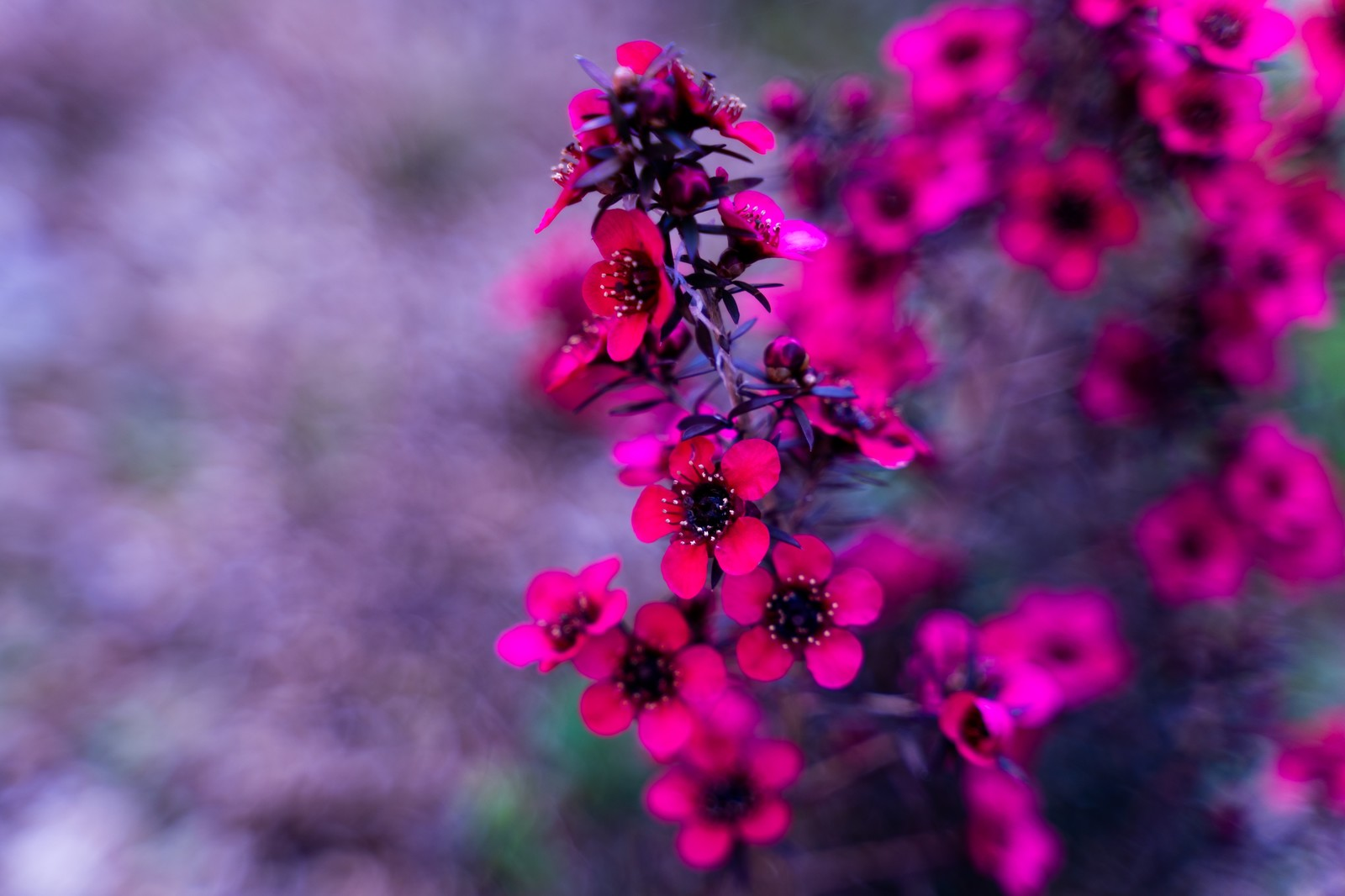 「ピンク色を発する花」の写真