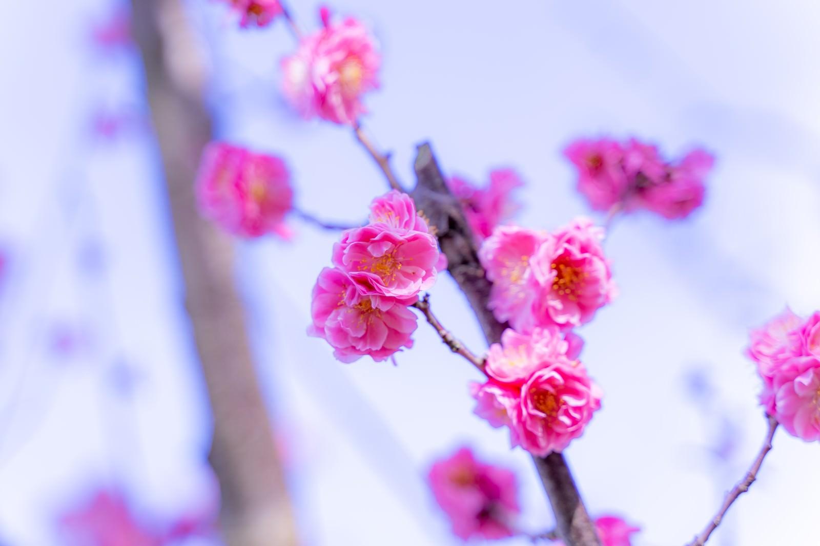 「開花するバラ科の花」の写真