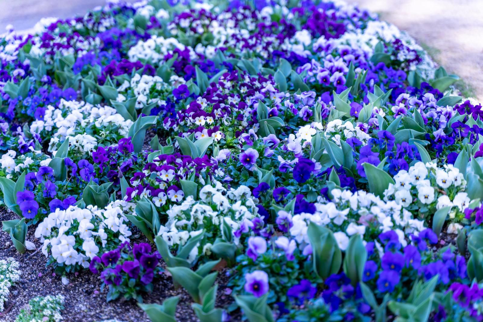 「花壇に咲いたスミレ科の花」の写真
