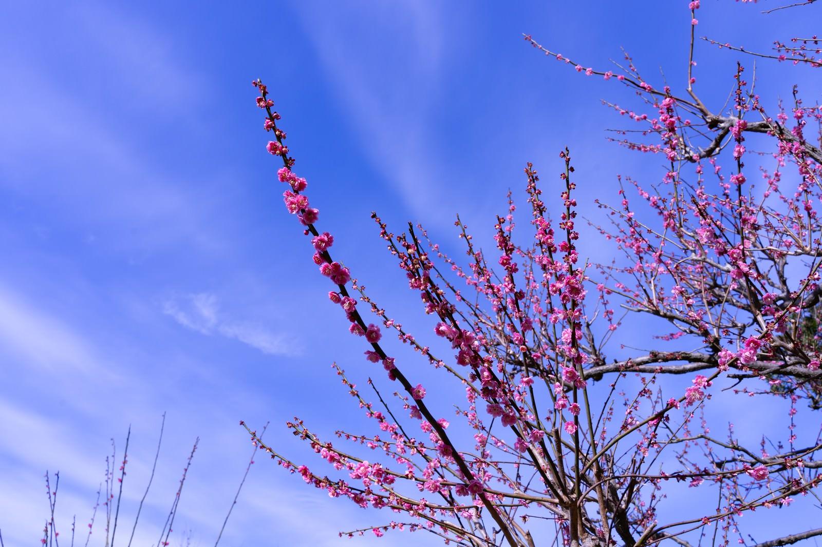 「青空と梅の花」の写真