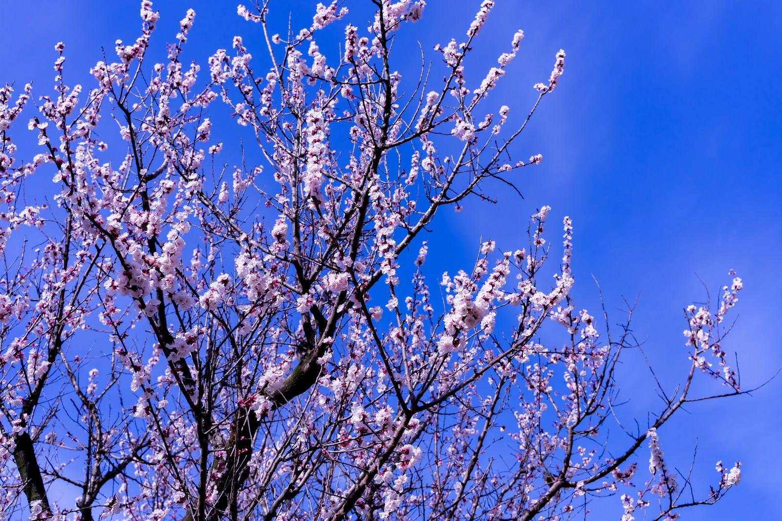 「青空を覆う梅の花」の写真